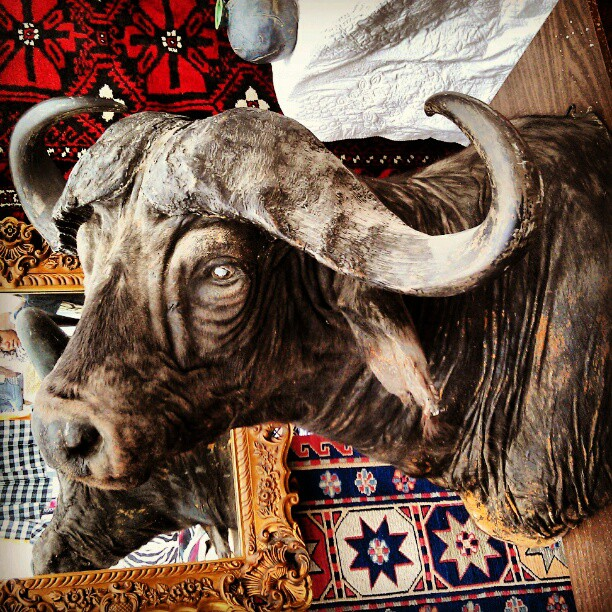 Anyone need the head of a massive water buffalo? It's in Vincent's space, G6! #Melrosetradingpost #taxidermy #fleamarket #Grr