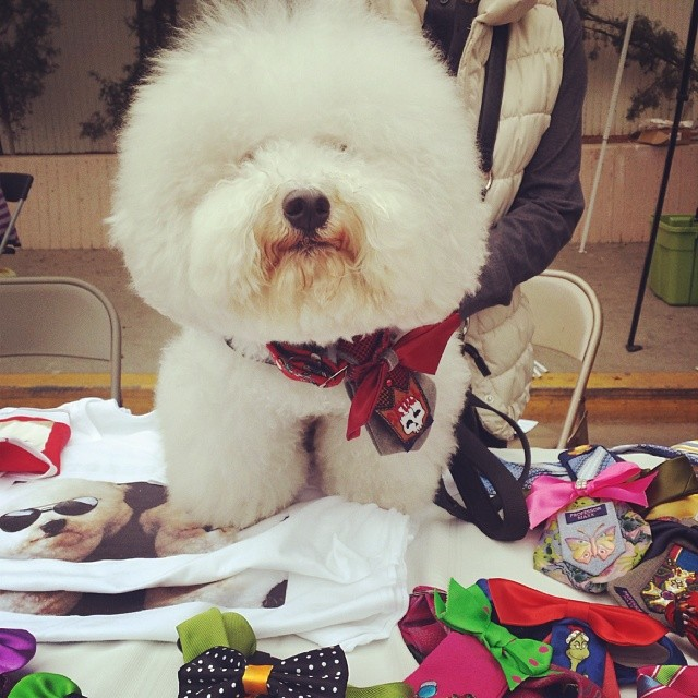 We're so excited for @professormaxx's #MTPfairfax  debut! He's helping his humans sell their handmade doggie bowties.