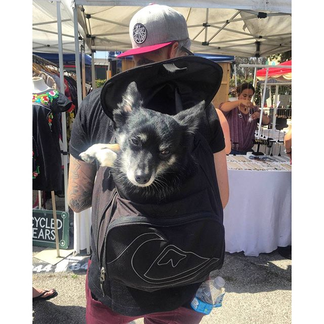 Amari found today's Cutie Pie of the Day!! This backpack pup is too cute for words. #MTPfairfax #DogsofMTP