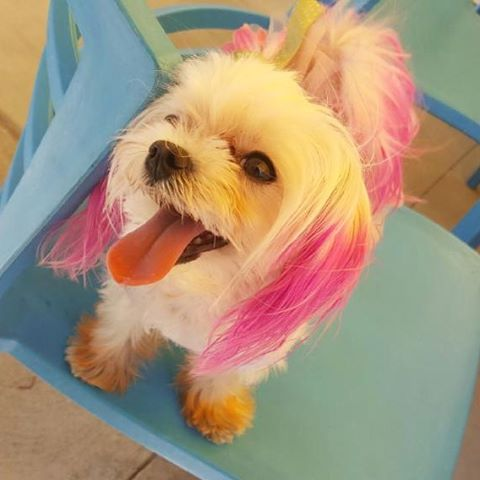 Our cutie pie of the day for today is Chloe!! We love her pink hair.  #DogsofMTP #MTPfairfax