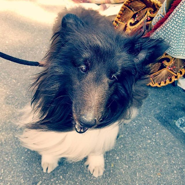 Karla's pick for Cutie Pie of the Day is Tessa!  Thank you @lforssman for bringing Tessa to the #Melrosetradingpost today! #DogsofMTP #puppy #dogsofinstagram #perrito #Mtpfairfax #melrose #fairfax #fleamarket #losangeles #california #Sundayfunday #shoplocalla #sundayinla #shoplocal