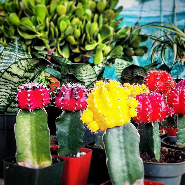 Get these cute little plants at the Melrose Trading Post at booth B145 #MelroseTradingPost #Melrose Avenue #losangeles #California #Mtpfairfax #plants