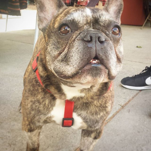 Aweeee, say hello to Ruben ♡.♡ #dogsofmtp #cutiepieoftheday #melrosetradingpost #mtpfairfax #fleamarket #sundayfunday #losangeles #California #fairfaxhigh #fairfaxhs #valentinesday