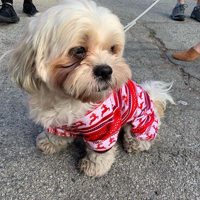 A cutie in pajamas #melrosetradingpost #dogsofmtp #cutiepie #cute #sundayfunday
